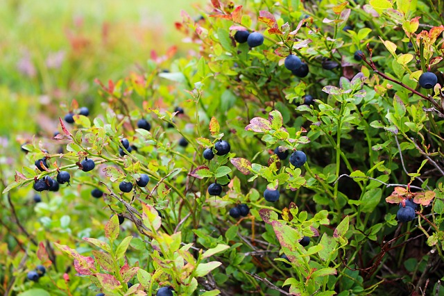 blueberries-1648595_640.jpg